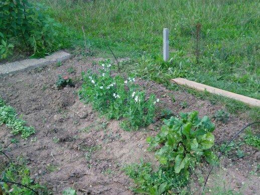 Sockerärter och jordgubbsplantor